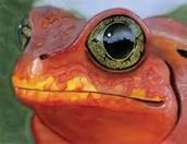 Red Sharp Poison Dart Frog