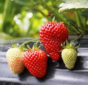 Buy the berry best strawberries in town!