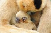 Momma and baby gibbon sleeping.