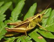 The Regular Grasshopper