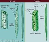 Both Xylem & Phloem Plants