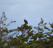 Watch the eagles perch in a nearby tree
