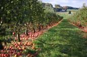 Antecedent Apple Orchard