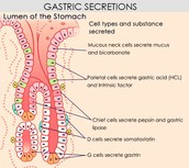 FIRST: Some Background on Gastric Cells and Digestion