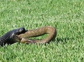The Red Bellied Black Snake swallowing a snake