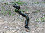 (BRS) Black Rat Snake