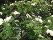 White Mountain Ash