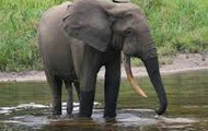 The African Forest Elephant