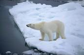 A polar bear's great nose
