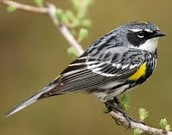 Yellow-rumpled Warbler