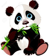 What do Panda Bears eat?