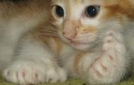 Polydactyly Kitten