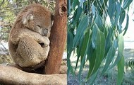 How do baby Koalas reproduce?