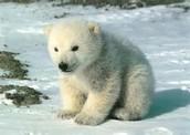 How big can a polar bear be ?