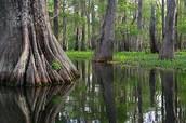 Swamp Tupelo