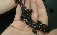 Salamanders!