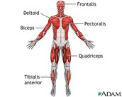 muscular system thanks!
