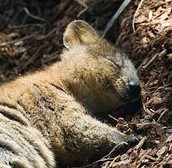 Quokka sleeping