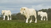 Lions can be white