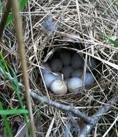 Bobwhite Quail Eggs