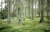 England's Forrest