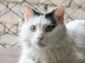 Some facts about Turkish van cats