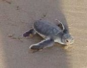 Turtle going to ocean