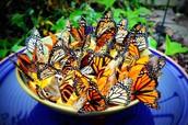 Butterflies in a Bowl
