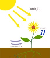 To make photosynthesis