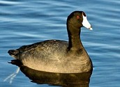 The American Coot
