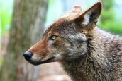 Red Wolf at the Alligator River National Wildlife Refuge