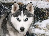 http://rg-style.com/wp-content/uploads/2014/12/Siberian-Husky-Dog-Breeder-3.jpg