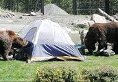 Bears getting in a campsite
