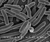 Salmonella, Escherichia Coli