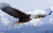 The Bald Eagle Interesting facts.