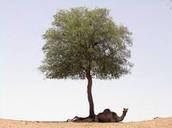 Ghaf Tree or Prospus Cineraria