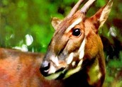 saola in the wild