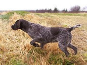 A hunting dog.