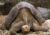 This is an endagered turtle