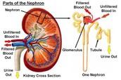 Glomeruli Nephritis Kidney Function