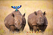http://fightforrhinos.com/tag/black-rhino/