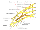 And the Brachial Plexus