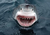 Most sharks are dangerous to people