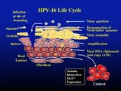 HPV-16 Life Cycle