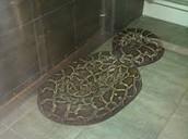The burmese python