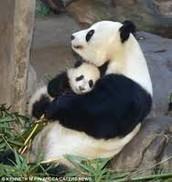 Mama Pandas y Bebes Pandas
