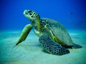 Sea Turtle sitting in water