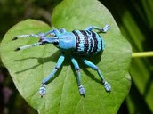 Blue Rainforest Beetle