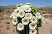 Arizona's state flower the Saguaro
