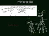 Protocetidae
